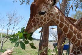 Picture 3 giraffe eating grass