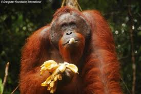 picture 5 orangatang eating