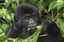 picture 6 gorilla eating