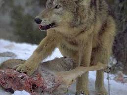 wolves eating 1