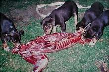 Dogs eating raw animal