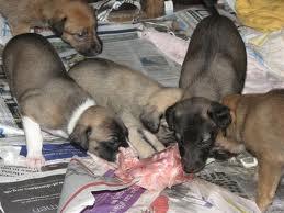 Dogs eating raw animal2
