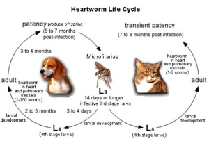 Roger.Biduk-Heartworm Lifecycle