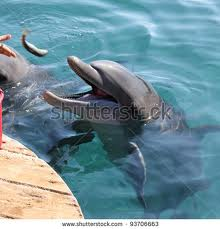 Dolphin eating fish