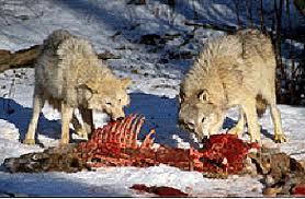 wolves eating